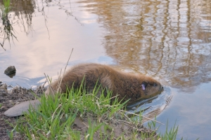 Eurasian beaver entering the water