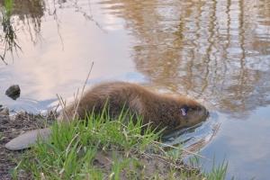 Eurasian beaver entering the water